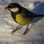 Синичка зимой: нужно посмотреть внимательно