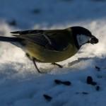 Синичка зимой: заветная семечка
