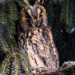Ушастая сова: на дереве