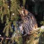 Ушастая сова: зимой снег идет
