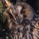 Ушастая сова: недремлющее око