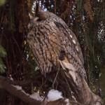 Ушастая сова: вторая сова в тени