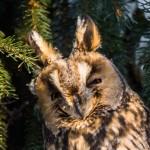 Ушастая сова: полуухмылка