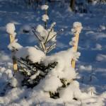 Молодые ёлочки в Удельном парке.