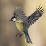 Синица расправила крылья