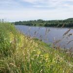 На берегу Волхова. Прибрежная трава.