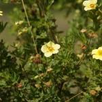 В Старооскольском дендропарке. Цветы лапчатки желтой.