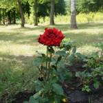 В Старооскольском дендропарке. Просто роза.