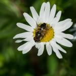 Ольгино. Пчела и ромашка. Взаимная любовь и обожание.