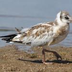 Западный Котлин. Птенец чайки на берегу.