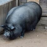 """Пушкинские Горы. Экопарк """"Зооград"""". Вьетнамская вислобрюхая свинья."""