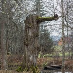 Пушкинские Горы: Петровское. Дерево Карлик-нос в парке.
