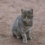 Изборская крепость. Суровый кот у Никольского собора.