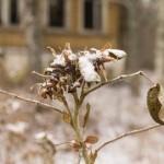 Старая усадьба в Кобрино. Руновская мыза. Шиповник зимой.