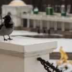 Петергоф. Ворона на экскурсии у Большого каскада.