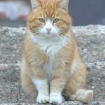 Валдай. Просто рыжий кот.