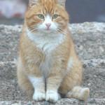 Валдайский кот.