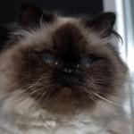 Осташковская кошка.