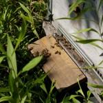 Летом на даче. Обитатели улья на летке.