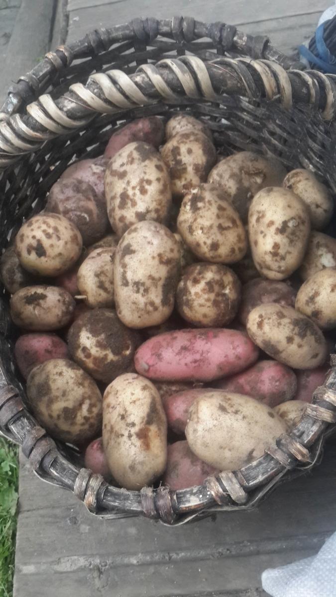 Карелия. Сегежа. Сбор картофеля.