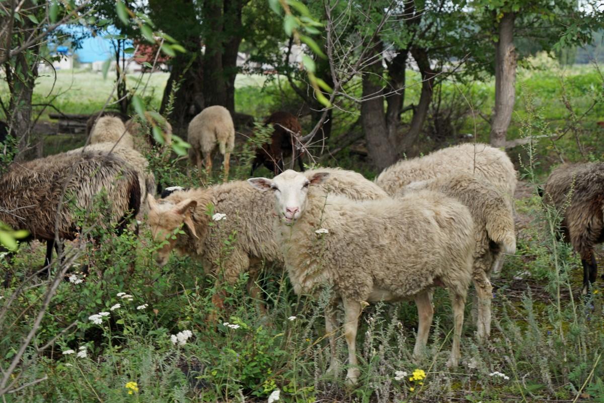 Июль. Овцы в Чернянском районе.