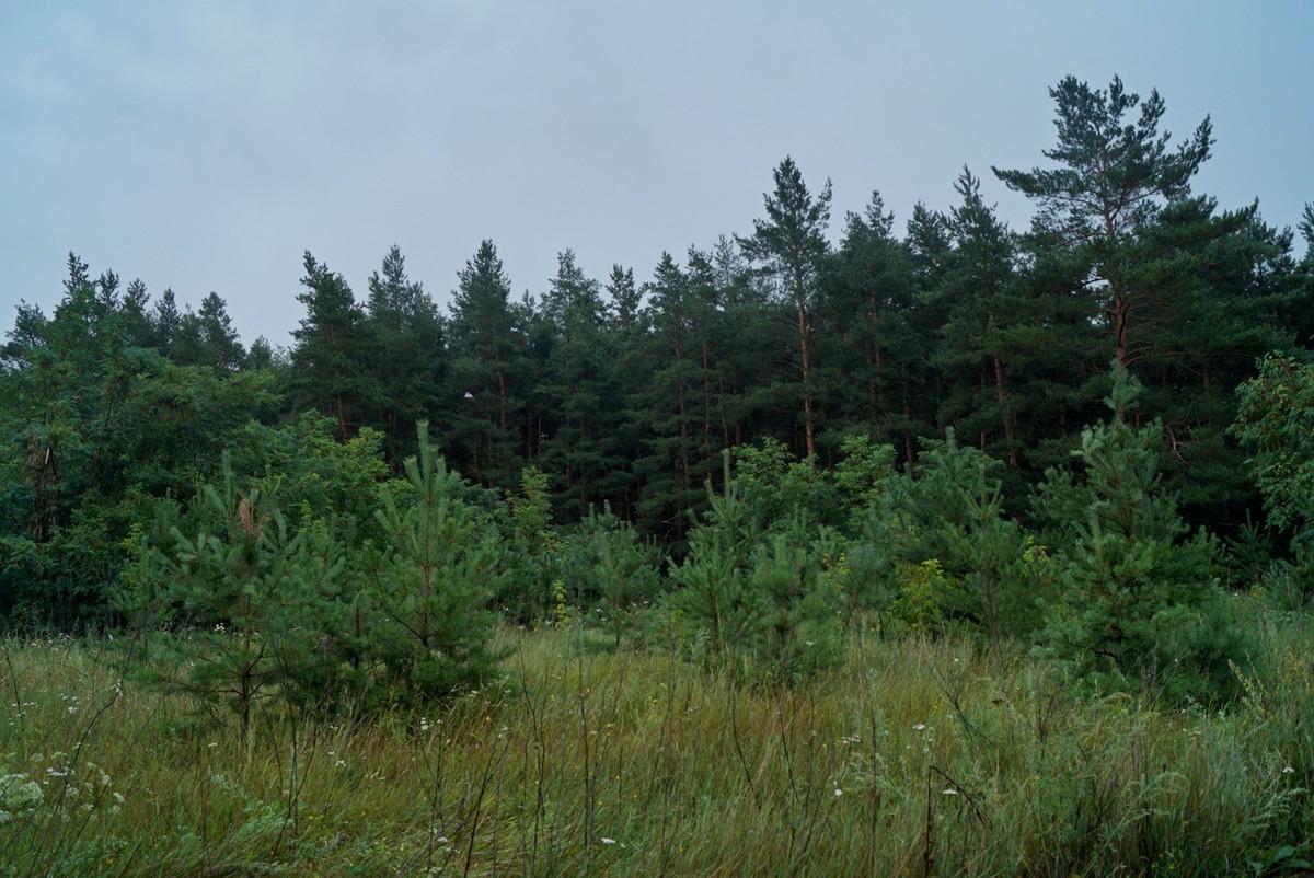 Сосновый лес в Чернянском районе.