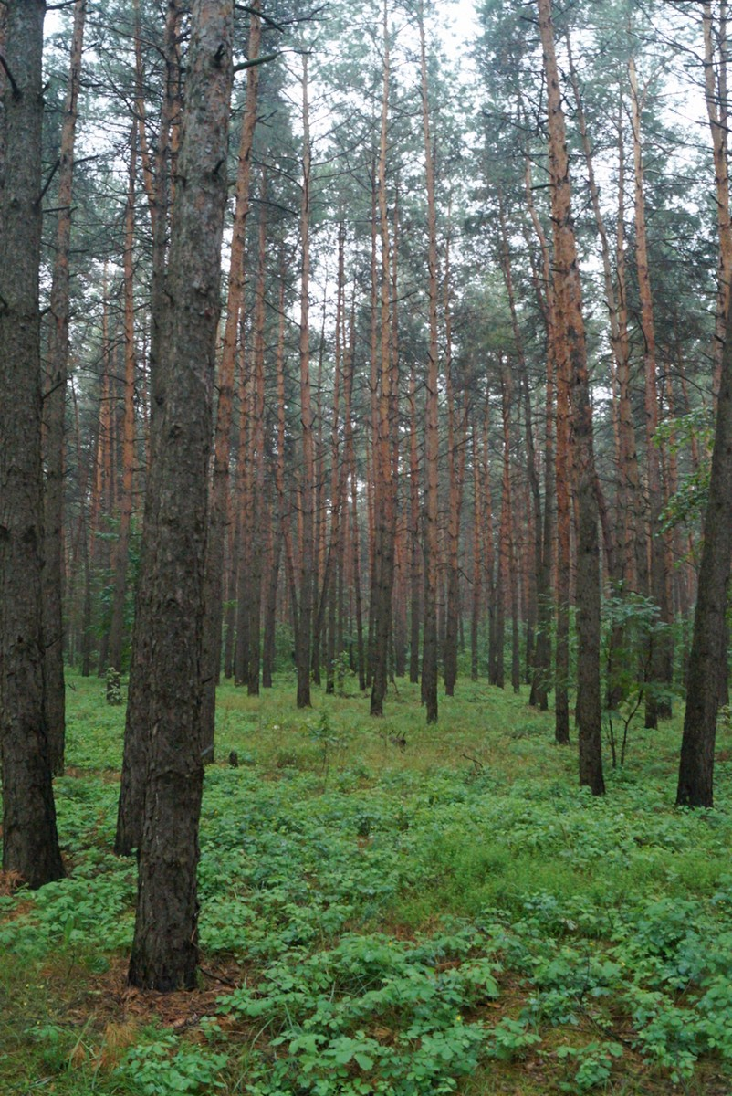 Сосновый лес в Чернянском районе. А иногда почти корабельная роща.