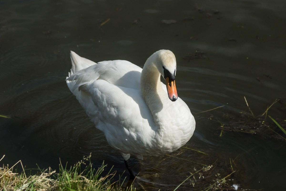 Лида. Лебедь у Лидского замка.