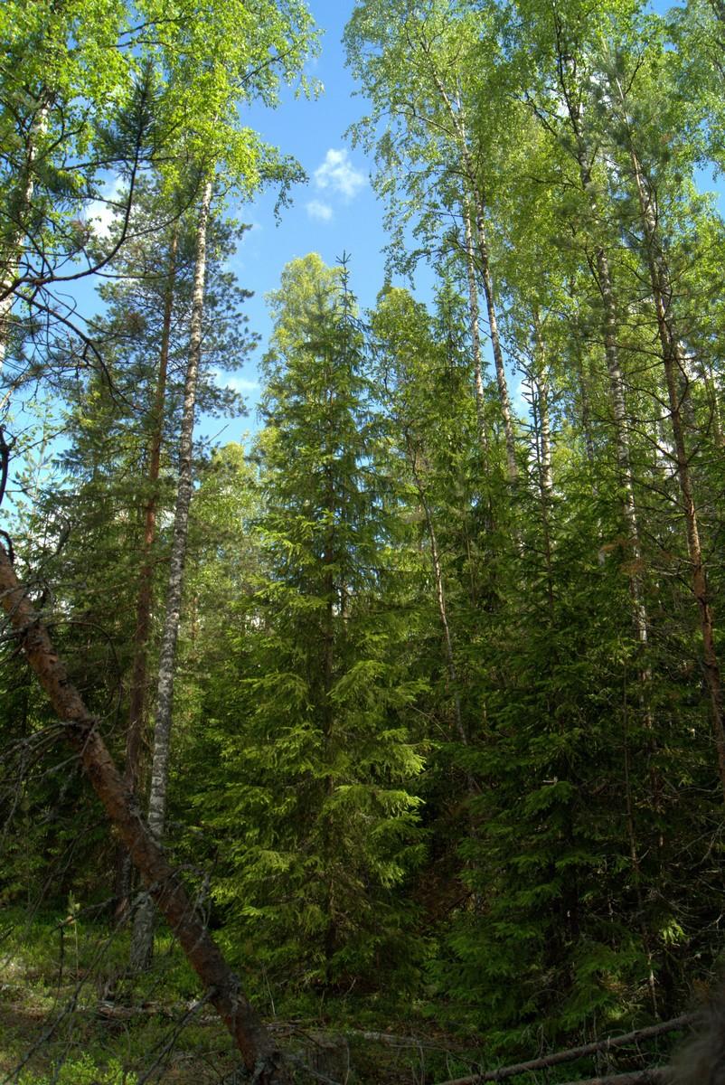 Летом в Кирилловском. В сказочном лесу.