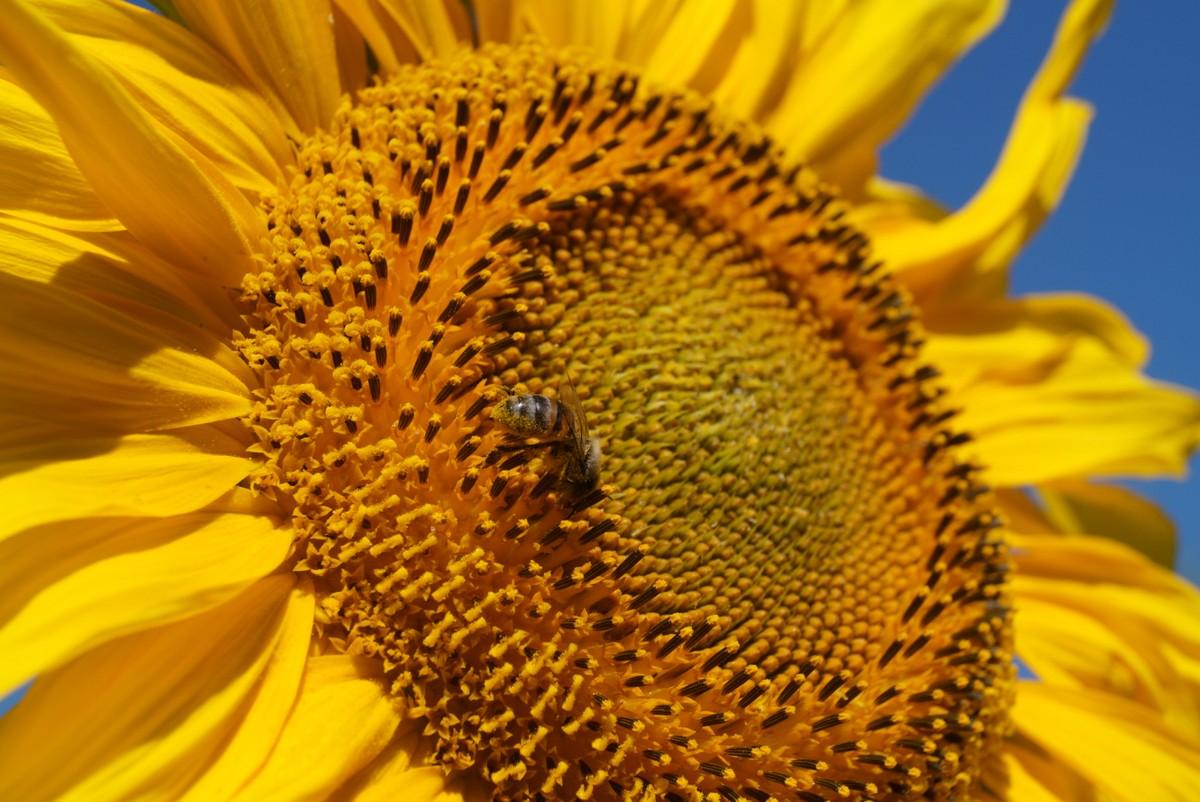 В Старом Осколе. Пчела и подсолнух.
