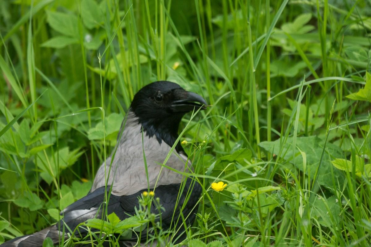 Пушкин. Екатерининский парк. Ворона в траве.