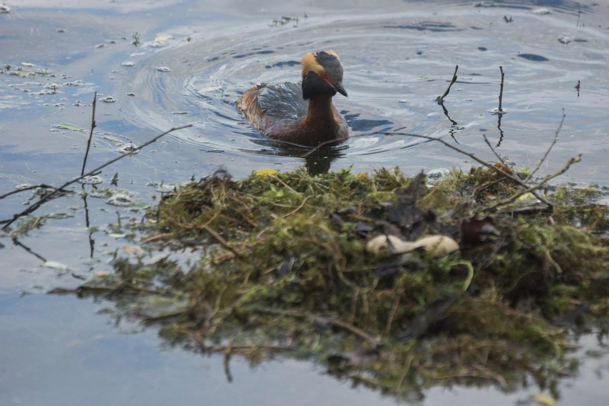 Пушкин. Екатерининский парк. Красношейная поганка у гнезда на Большом пруду.