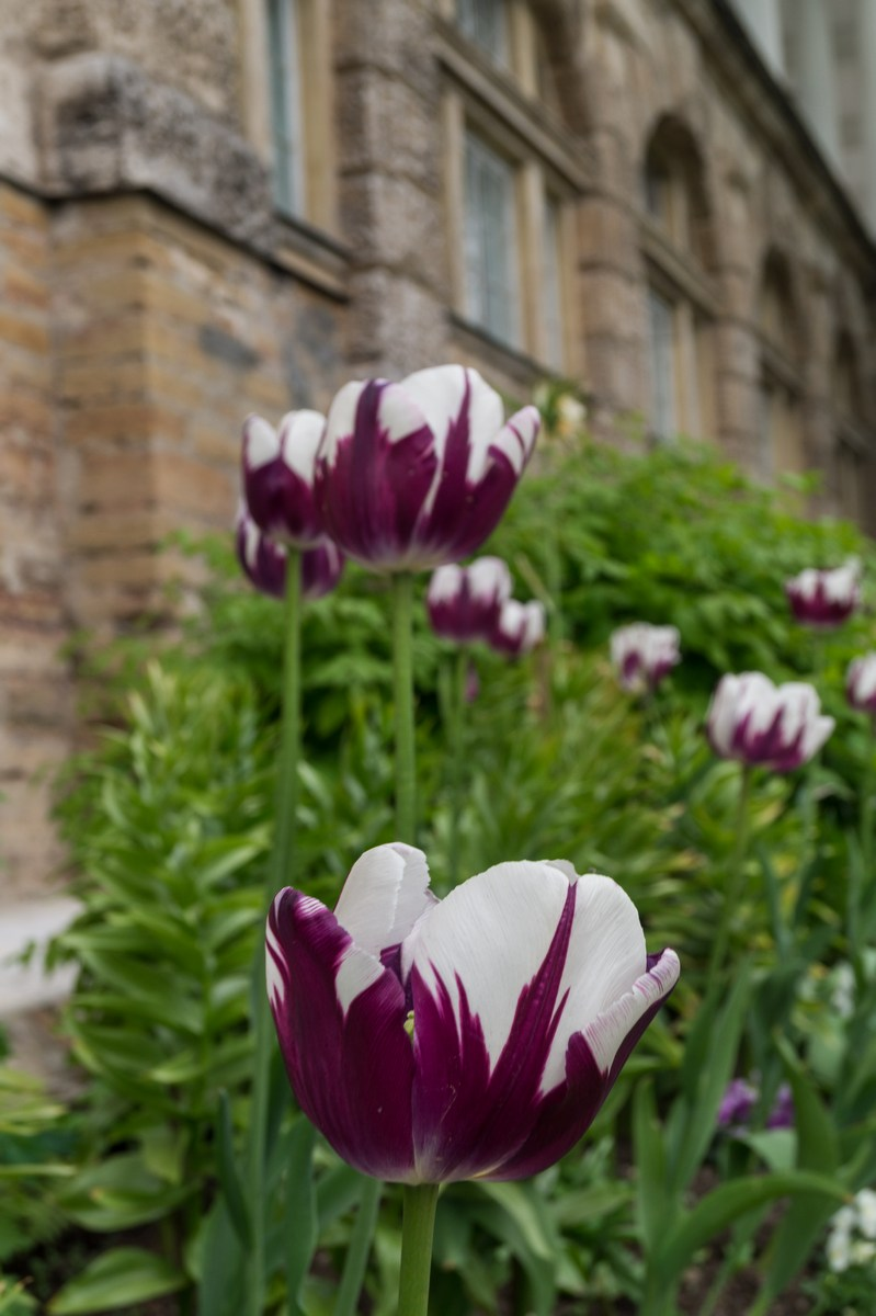 Пушкин. Екатерининский парк. Двухцветные тюльпаны в Собственном садике.
