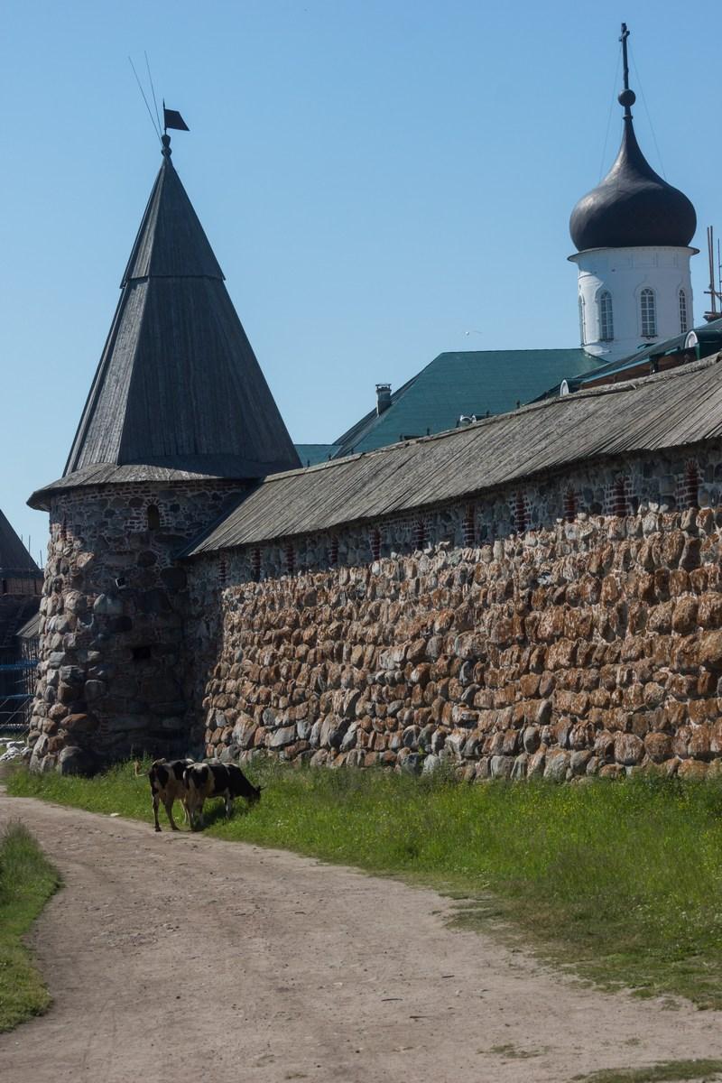 Соловецкий монастырь. Поваренная башня и коровы.