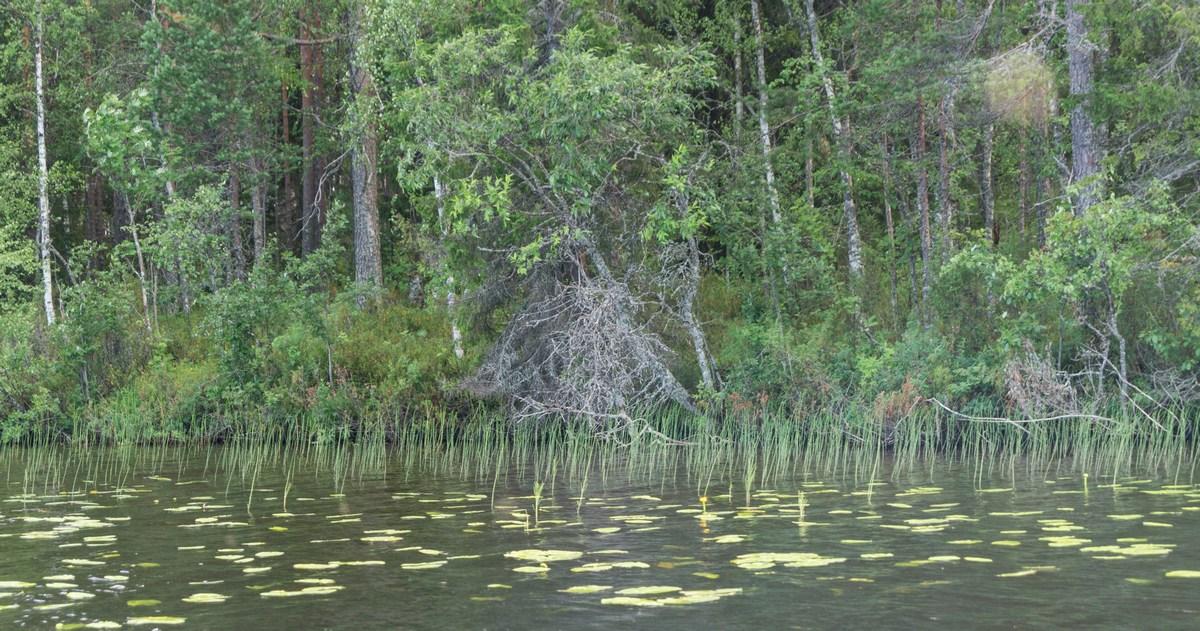 Карелия. Шуезеро. Темные и сказочные берега озера.