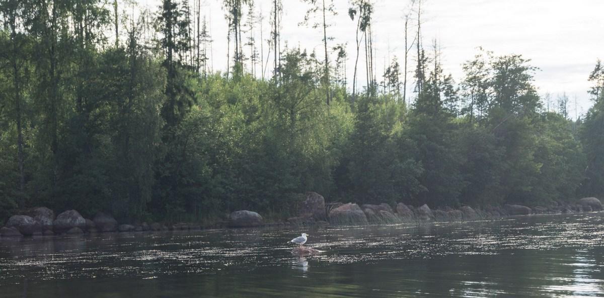 На Финском заливе. В Глебычево. Чайка на привычном камешке.