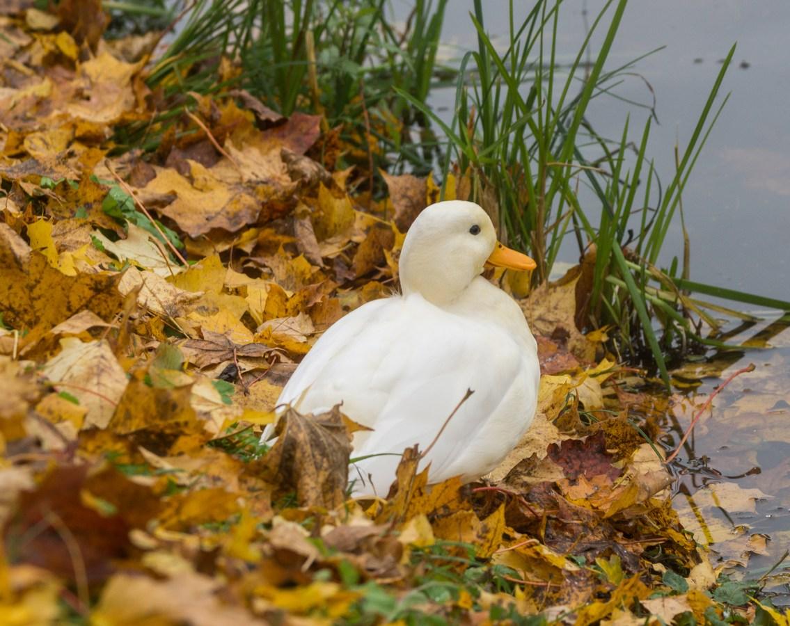 Гатчинский парк. Октябрь и белая утка на Карпином пруду.