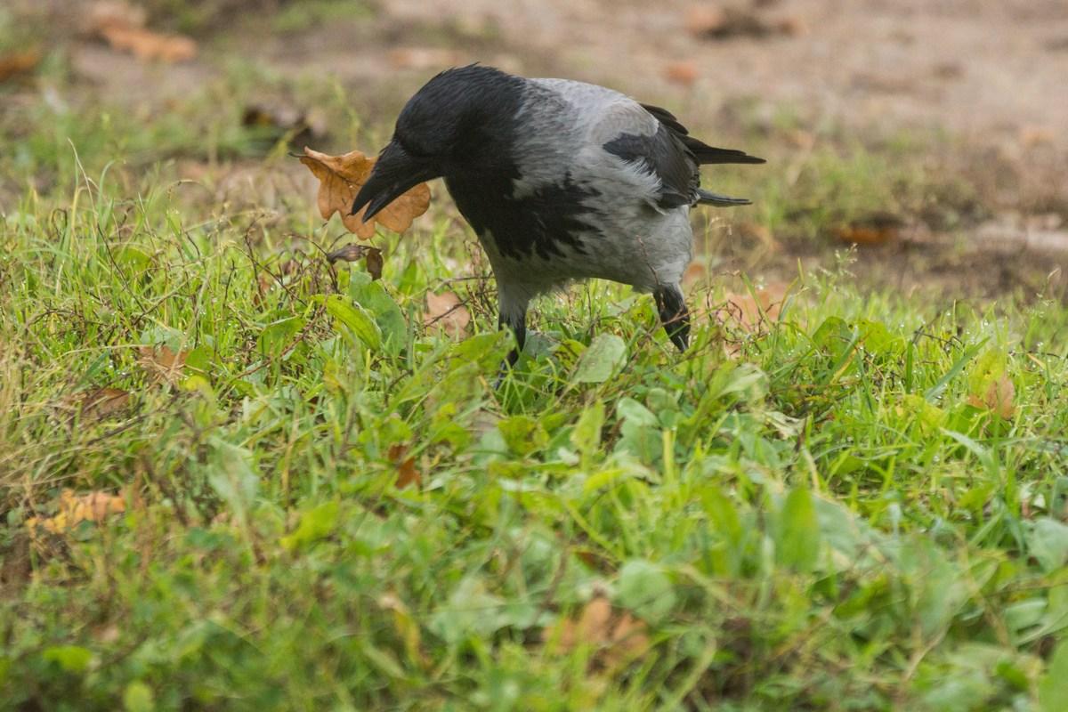 Гатчина. Приоратский парк. Ворона в траве.