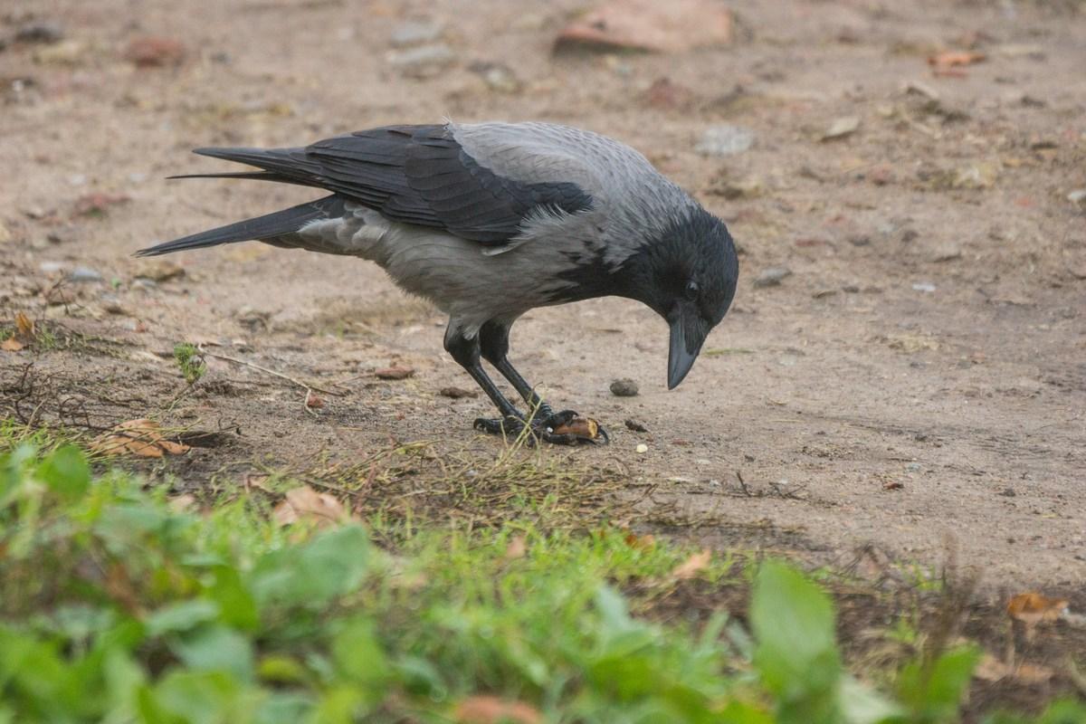 Гатчина. Приоратский парк. Ворона с желудем.