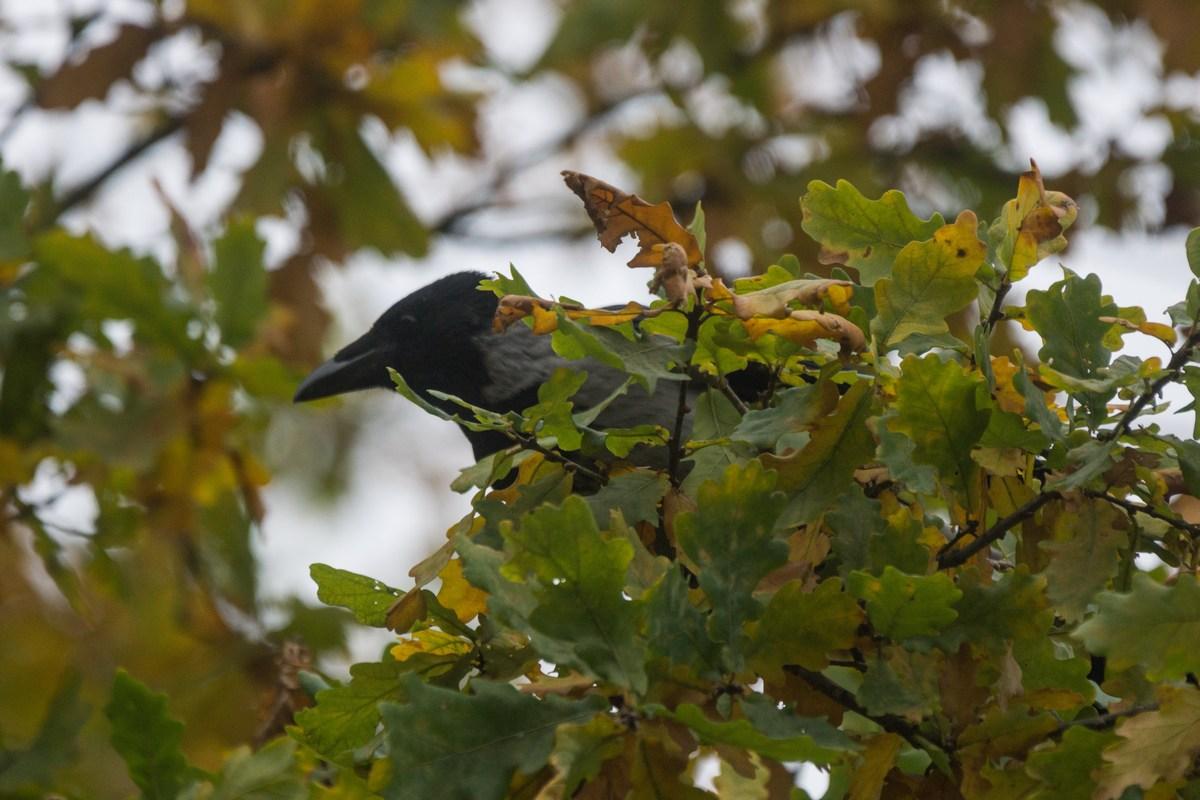 Гатчина. Приоратский парк. Октябрьская ворона на дубе.
