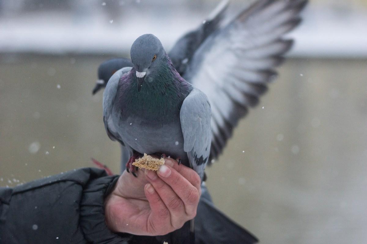 Старая Русса. Курортный парк. На Верхнем озере. Нахальные голуби. Ничего не боятся.