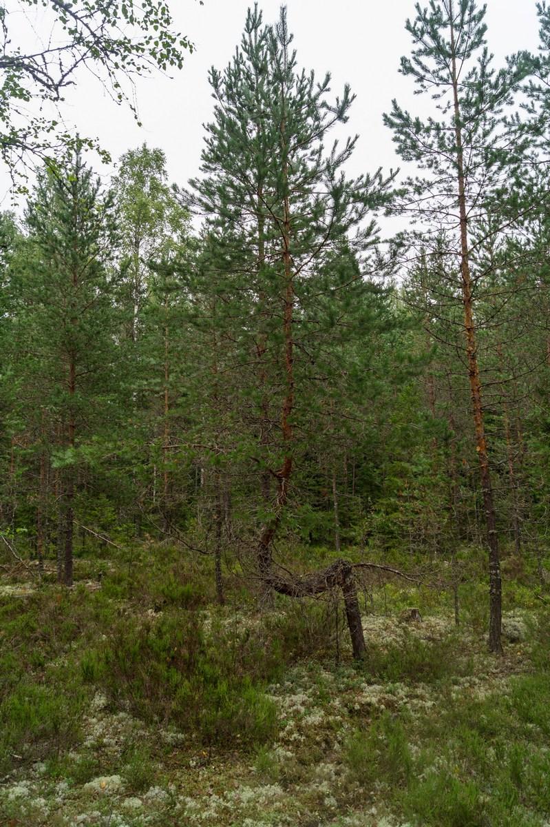 В Кирилловском. Летний лес, полный сюрпризов.