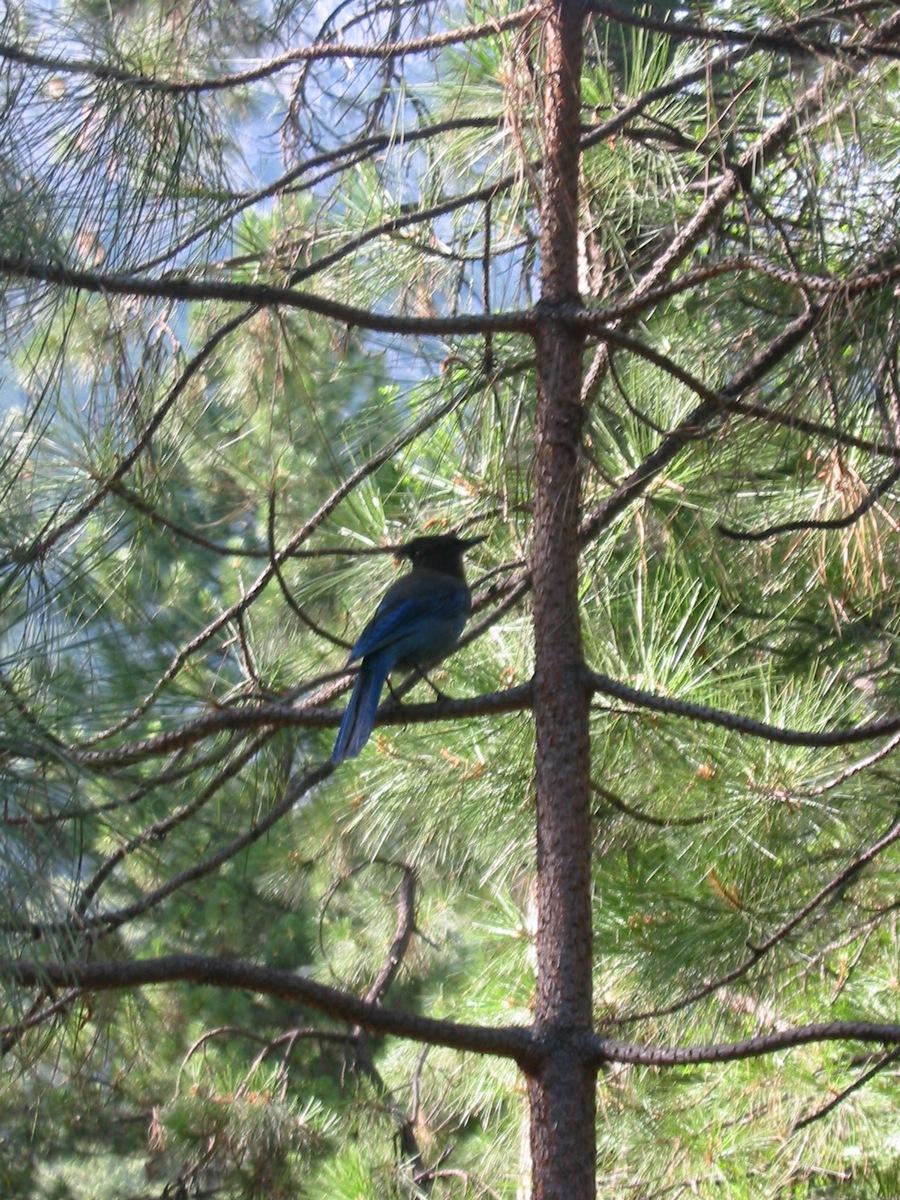 Калифорния. Долина Йосемити. Неопознанная птица красивого синего цвета.