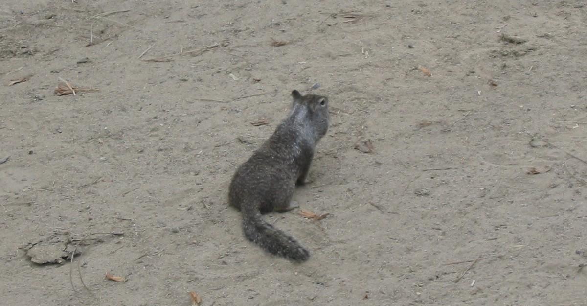В парке Йосемити. На конюшне. Хитрый грызун.