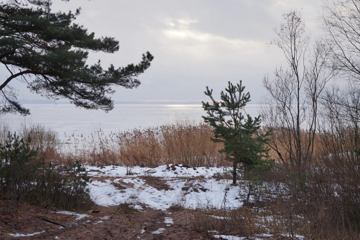 На Финском заливе в Ольгино. Сосны, кусочек солнца и залив.