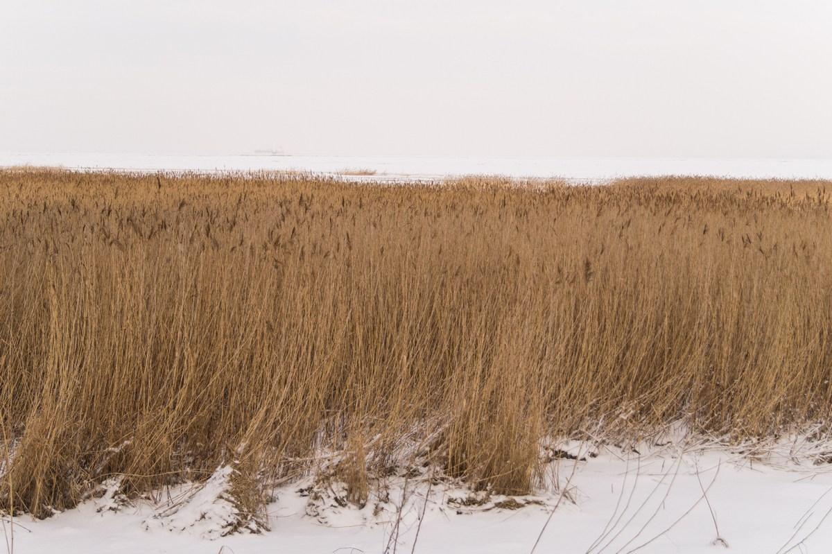 На Финском заливе в Знаменке. Начало января. Заросли.