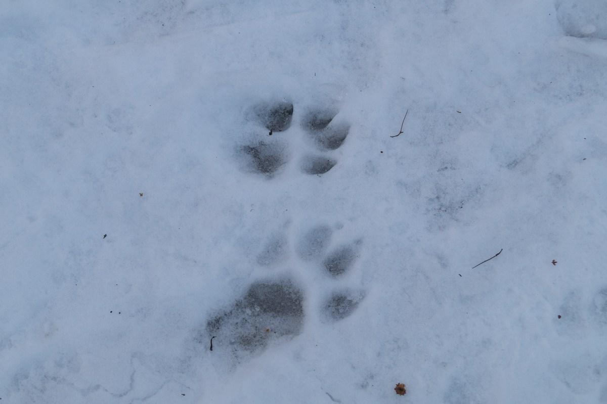 В Невском лесопарке. Следы... огромной собаки у торфяных болот.