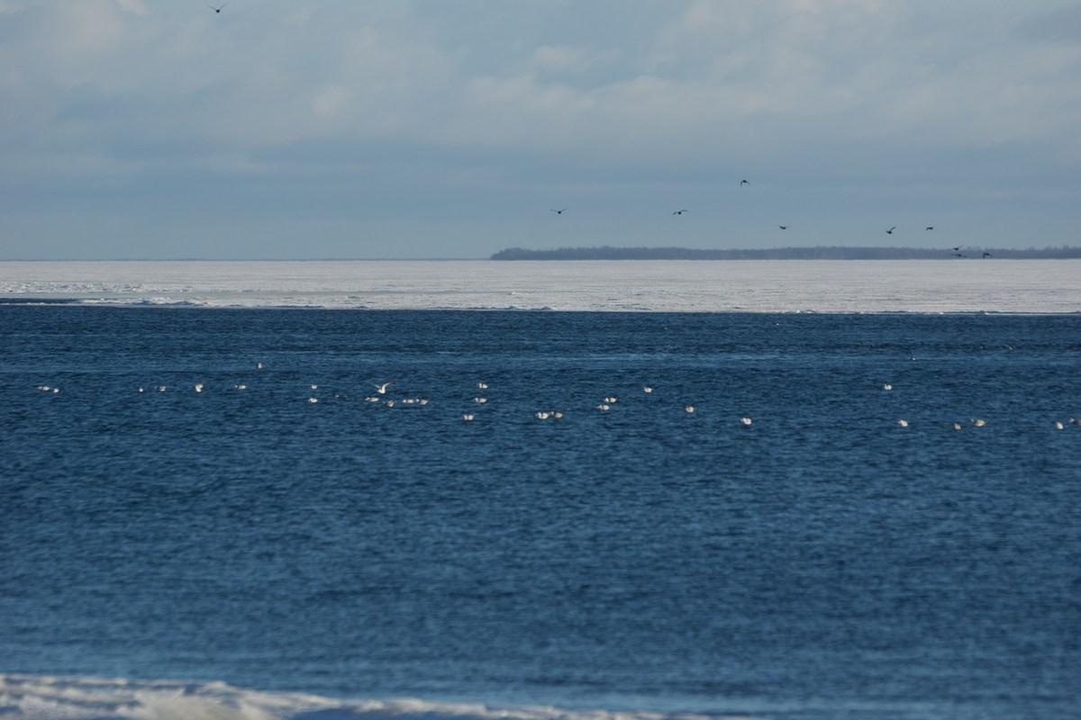 Чайки на воде Ладожского озера.