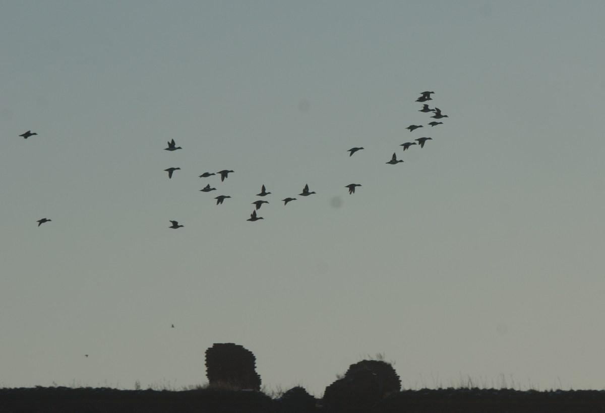 Утки, пролетающие у Орехового острова. Январь.