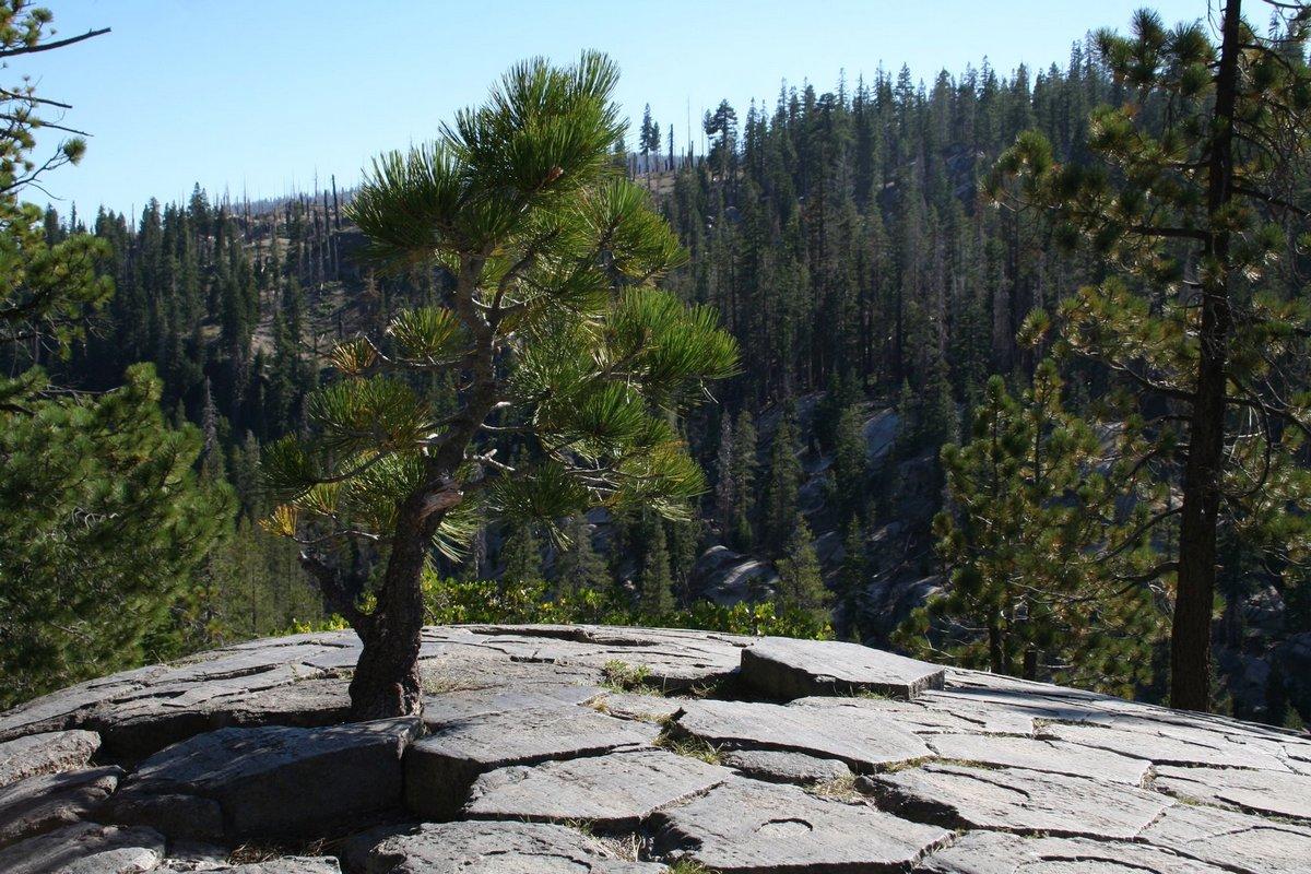 Калифорния. Дьявольские столбы. На вершине скалы. Сосна.